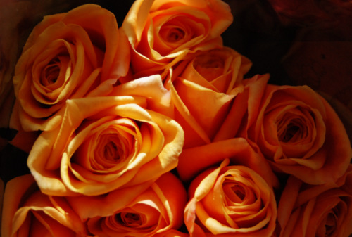 apricot roses photo