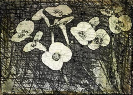 Euphorbia. PicSketch.