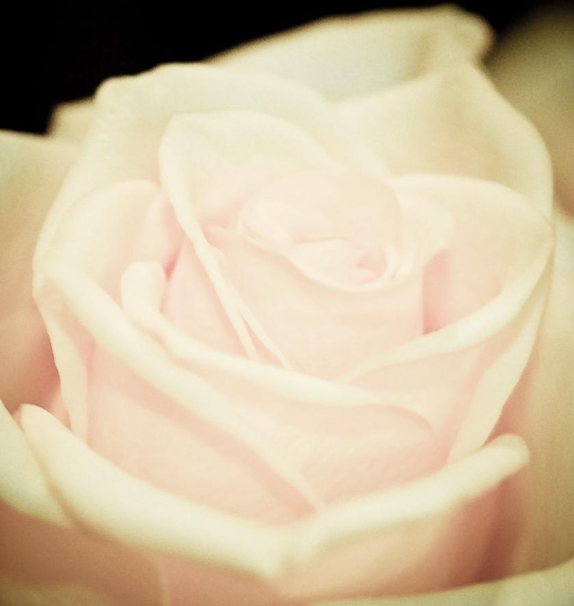 Antique rose photo