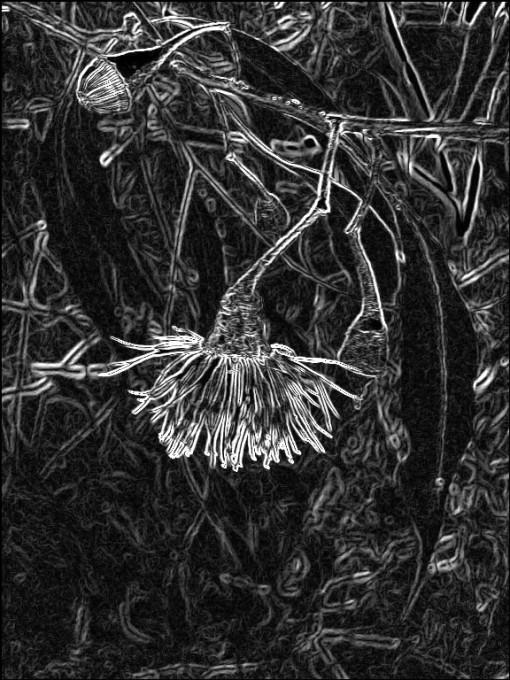 Gum blossom + bud. Chalk. SketchCamera.