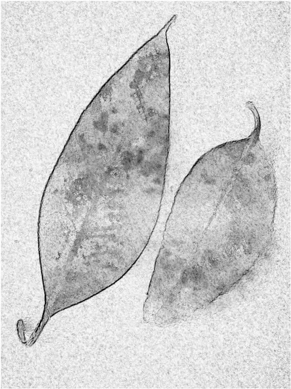 Leaf duo. SketchCamera.