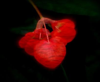 Begonia. PicSketch.