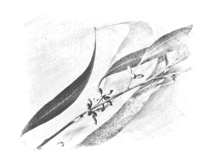 Leaf + bud. PicSketch.