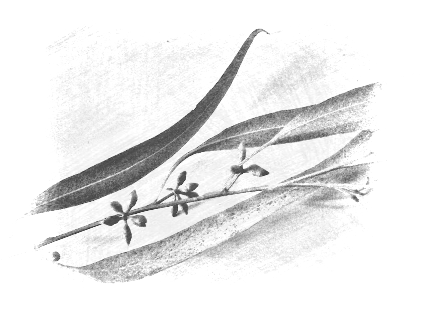 leaf bud mono