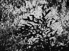 Firewheel bush. SketchCamera.