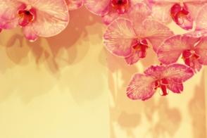 Stunning phalaenopsis