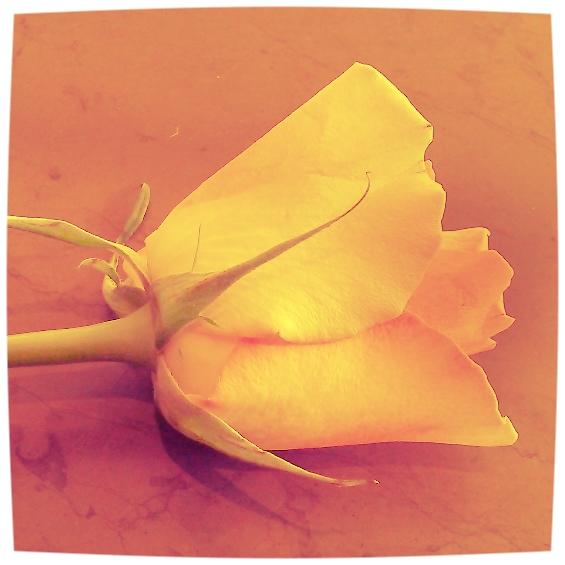 rose yellow