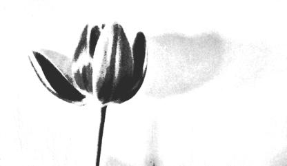 tulip mono