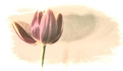 Tulip. PicturePerfect then PicSketch.