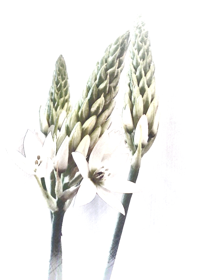 Chincherinchee. PicSketch. Two colour versions.