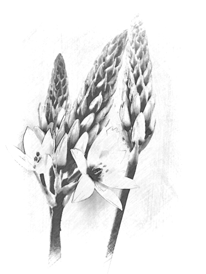Chincherinchee. PicSketch. Two mono views.