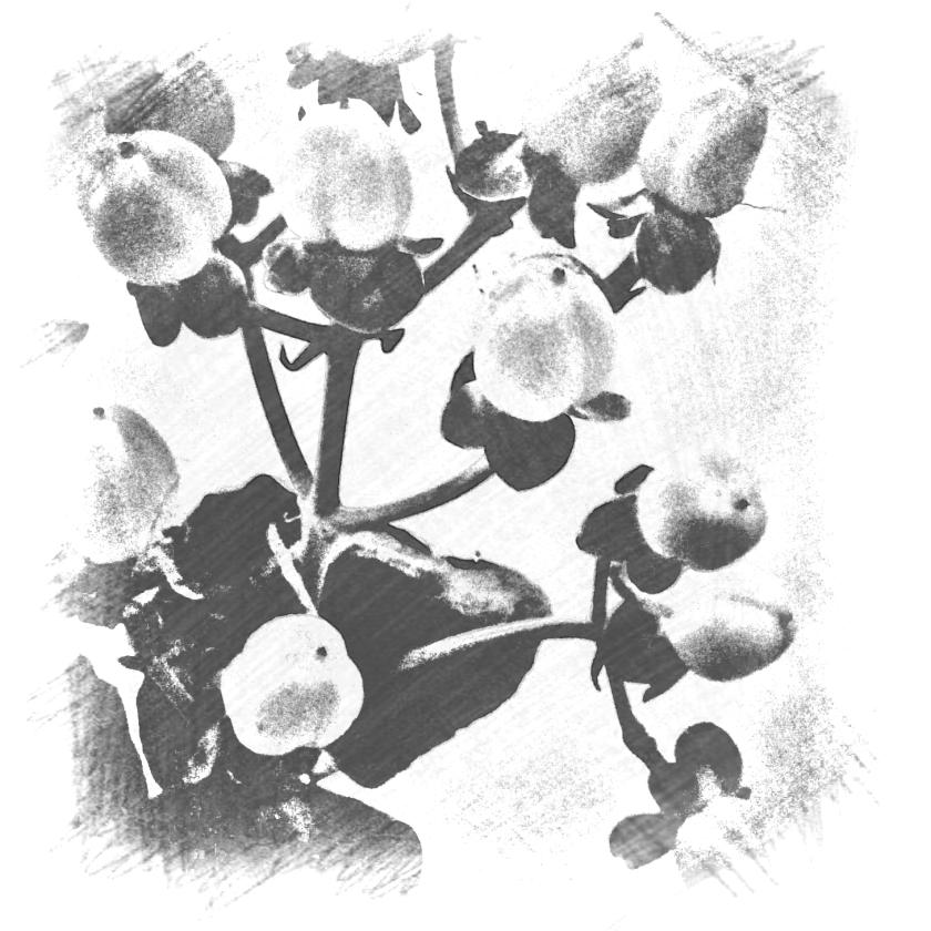 Hypericum berries. Various software.