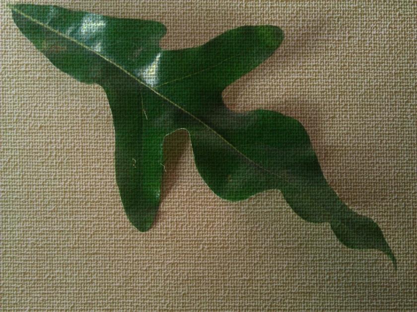 Firewheel tree leaf. PicSketch. *the original