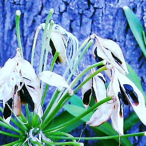 Agapanthus seedpods, close crop.