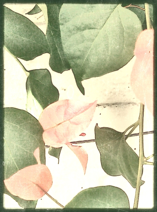 Bougainvillea, close crop. PicSketch. Two views.