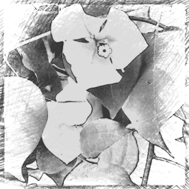 Bougainvillea. Various softwares. Mono versions.