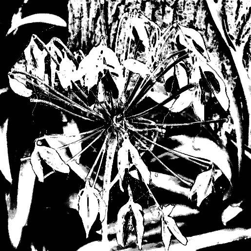 Agapanthus seedpods. PicSketch.