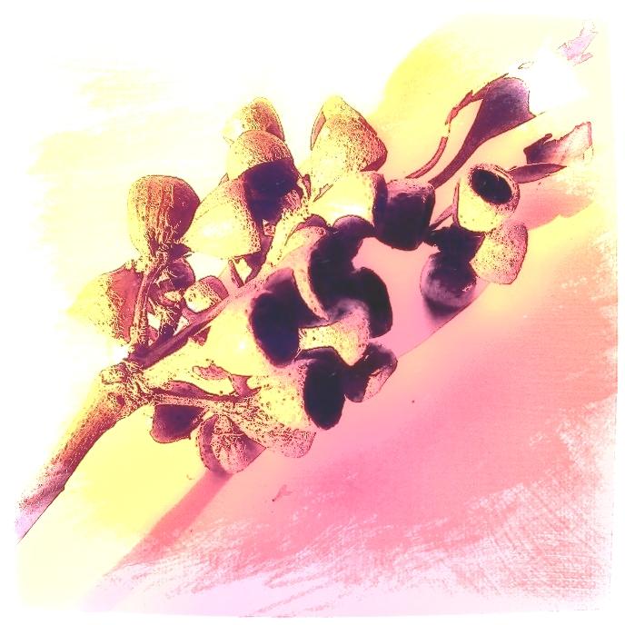 Seedpods. PicSketch. Two views