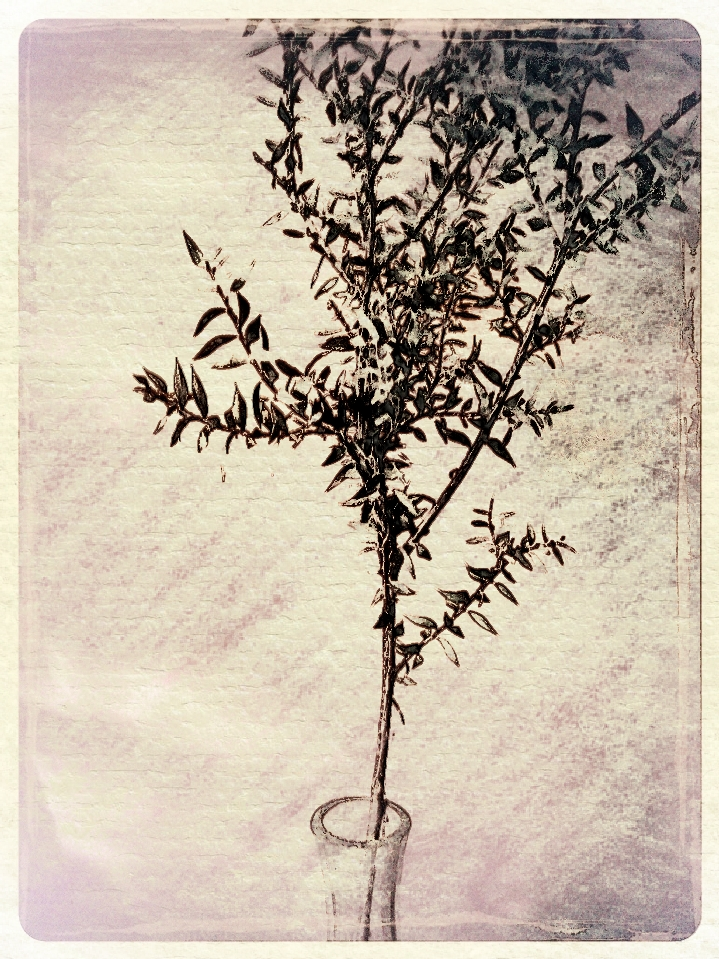 Melaleuca leaves in vase. PicSketch.