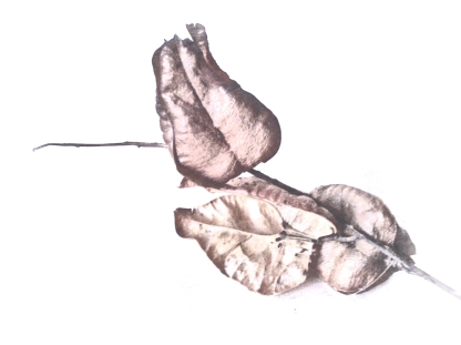 Seedpod. PicSketch. Two views.